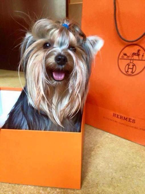 Hermes dog
