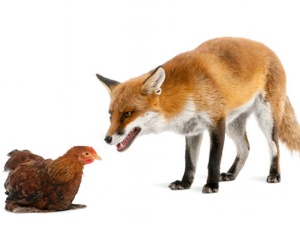 Fox and chicken