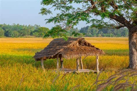 Rice field hut